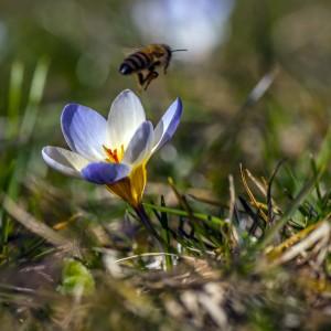 Biene beim Abflug