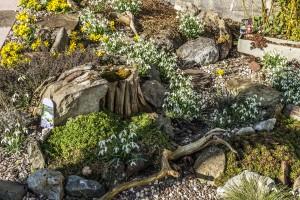 Die erste Blüte im Steingarten
