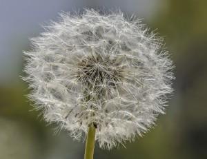 Pusteblume Aus unserem Garten. Macro aus 21 Einzelaufnahmen über 20 mm gestackt. Nikon D3x, Macroschlitten, Macroobjektiv 105/2,8 Modified by CombineZP